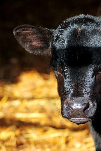 potadoodledo-bull-calfs-berwick